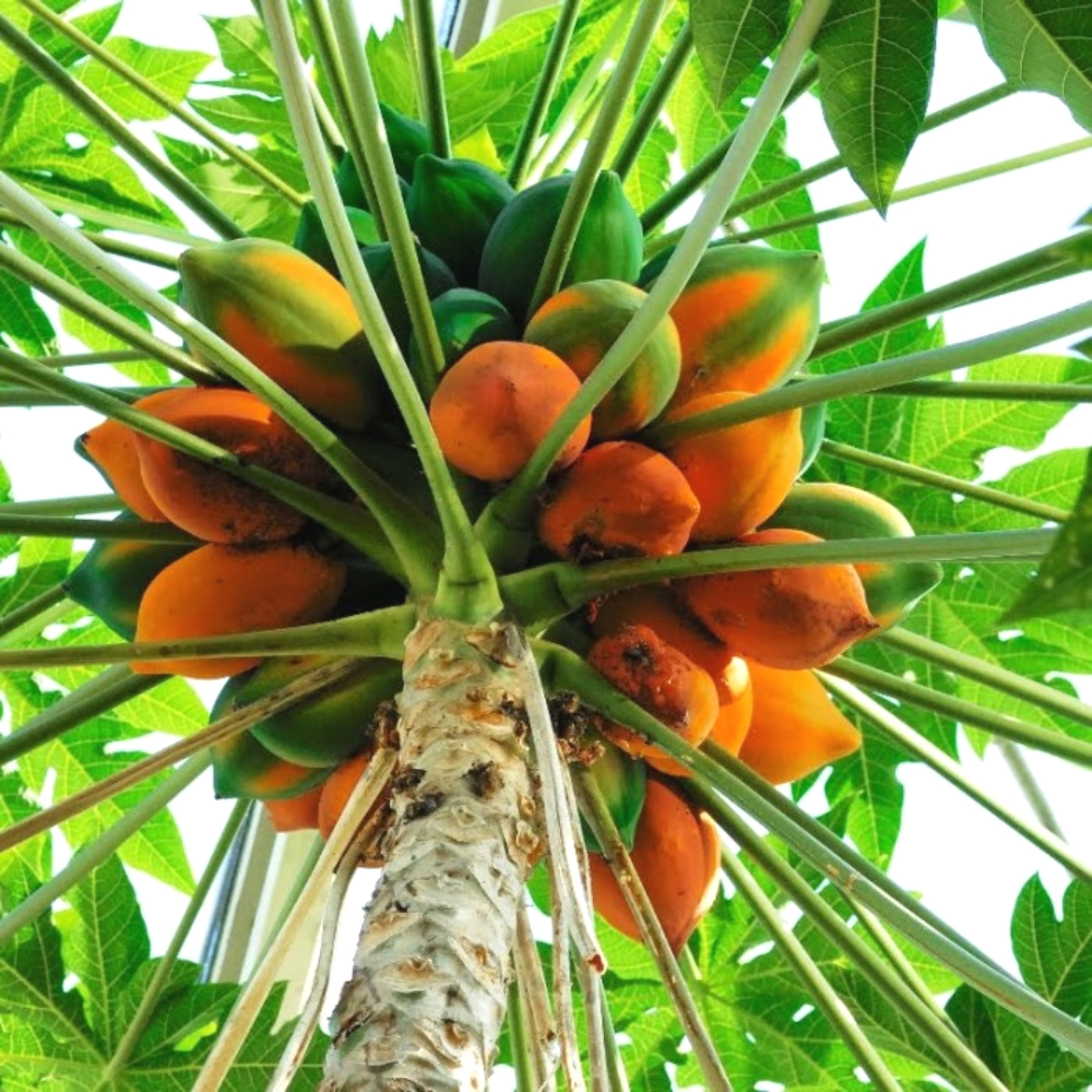 средство для похудения mangosteen отзывы