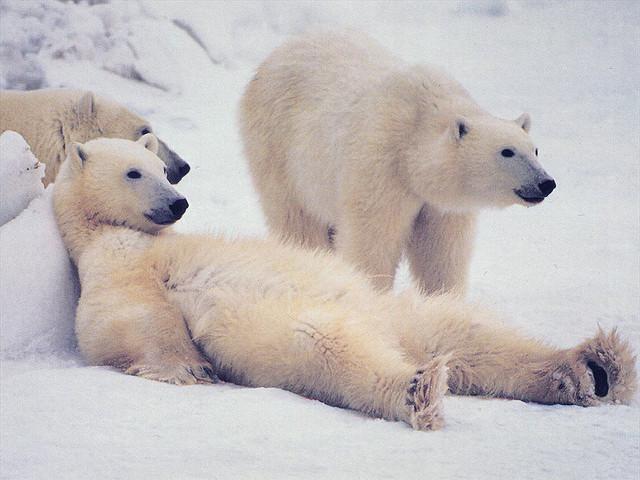 Белые медведи на отдыхе 1182 просмотра