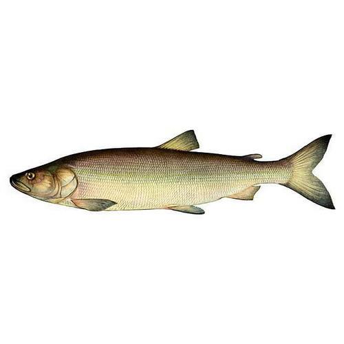 Рыбы семейства лососевых: список, фото. Ценная рыба ...