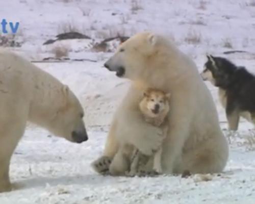 белый медведь и собака дружба видео