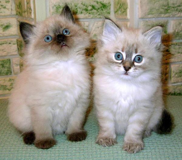 фото котят невская маскарадная